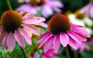 echinacea fiore